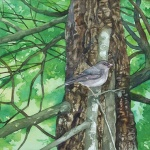 junco _ watercolor 11inx15in - $500
