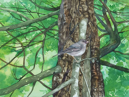 junco _ watercolor 11inx15in - $500