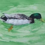 mallard _ watercolor & acrylic 16inx20in - $600